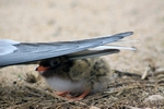 Tern chick, Inner Farne, England by Dave Banks