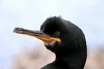 Shag, Inner Farne, England by Dave Banks