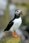 Puffin, Inner Farne, England by Dave Banks