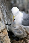 Kittiwake with chicks, England by Dave Banks