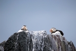 Puffins, England by Dave Banks