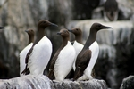Guillemots, England by Dave Banks