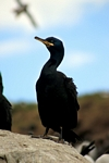 Shag, England by Dave Banks