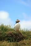 Puffin, England by Dave Banks