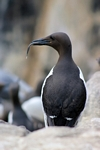 Guillemot, England by Dave Banks