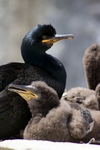 Shag with chicks, England by Dave Banks