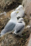 Kittiwake with chick, England by Dave Banks