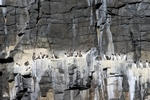 Guillemots, Isle of May, Fife by Dave Banks