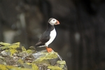 Puffin, Isle of May, Fife by Dave Banks