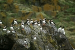 Puffins & Razon Bills, Isle of May, Fife by Dave Banks