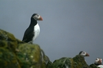 Puffins, Isle of May, Fife by Dave Banks