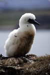 Gannet chick, Lothian by Dave Banks