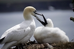 Gannet feeding chick, Lothian by Dave Banks