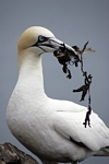 Gannet with nesting material, Lothian by Dave Banks