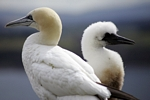 Gannet and chick, Lothian by Dave Banks