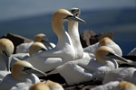 Gannets, Lothian by Dave Banks
