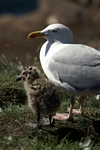 Herring Gull and chick, Lothian by Dave Banks