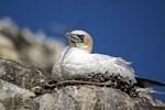 Gannet on nest, Lothian by Dave Banks