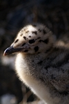 Herring Gull chick, Lothian by Dave Banks
