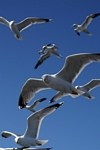 Herring Gulls, Lothian by Dave Banks