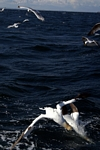 Gannets diving, Lothian by Dave Banks