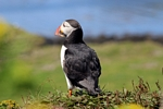 Puffin, Lunga, Mull by Dave Banks