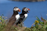 Puffins, Lunga, Mull by Dave Banks