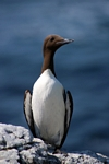 Guillemot, Lunga, Mull by Dave Banks