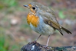 Robin, Faskally Wood nr Pitlochry, Tayside by Dave Banks