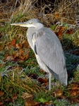 Herron, River Tay, Perth, Tayside by Dave Banks