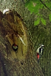 Woodpeckers, Kinclaven, Tayside by Dave Banks