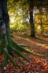 Beech trees nr Crieff, Tayside by Dave Banks