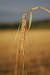 Lone ear of wheat, Tayside by Dave Banks
